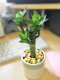 planting bamboo in a pot pot of lucky bamboo plant in soil colourful topping bonsai