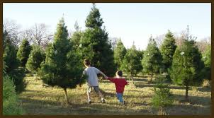 Types Of Christmas Trees To Plant by Growing Christmas Trees