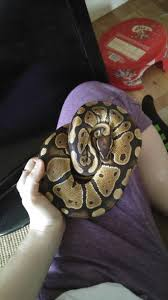 Ball Python Shedding Eating by Ball Python Local Classifieds Buy And Sell In Manchester Preloved