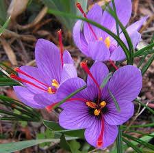 saffron crocus 10 bulbs spice fall blooming crocus
