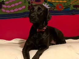 Luckys Bed And Biscuit by Dallas Fort Worth Labrador Retriever Rescue Club