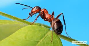 ameisen vertreiben ohne gift 10 natürliche hausmittel für