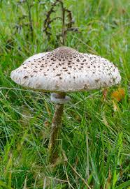 82 Best Mushroomdiary.co.uk - Fungi Selection Images On Pinterest ... Massive Mushrooms Perennial Garden Lover Soilduck Fanciful Fungi 3 Truffles In Your Backyard Backyards Amazing Edible Plants Scotch Bonnet Lawn Mushroom Youtube Free Images Nature Forest Backyard Leaves Fungus Mushrooms Identify These Back Yard Edible Hunting And How To Grow Get Rid Of The Yard Southern Living Mrgola Murga Morilla O Rabassola Morchella Rotunda Seta Fall For Wild Missouri Department Cservation Stop Bagging Lawn Nonblooming Irises Nh Notes A Diverse Array Naturalis