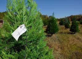 Leyland Cypress Christmas Tree by Christmas Tree Production Holds Demand Still Rising Mississippi