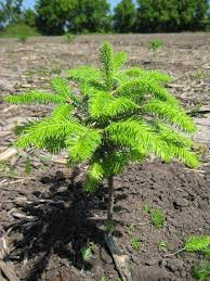Tannenbaum Christmas Tree Farm Michigan by Eco Friendly Thewiseacres