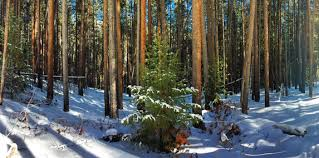 Christmas Tree Permits Colorado Springs by Christmas Tree Hunting Aspen Trail Finder Blog