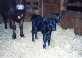 Heather Smith Thomas — Notes From Sky Range Ranch: Brown Bug — One ... Around The Farm Scissors Creek Cattle Company The Beutler Family Bench Design Hay Barn Plans Shed Heifer Development Way View Onduty Horse Csavvycom We Know Working Horses Katefairlie Kate Fairlie Kims County Line Cribs Aka Sheds Enduragate Setup Demstration For Calving Youtube Portable Calving Beef Facilities Pinterest Barn 332014 Calving2014 January 2014 Life On A Bc Ranch Slate Architecture Boots Heels Renovated Area