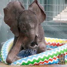 Ellie The Dallas Zoo Baby Elephant Takes His First Dip In A Kiddie Pool