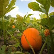 Pumpkin Picking Richmond by 10 Favorite Virginia Pumpkin Patches