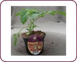 coeur de en pot taugourdeau plantes et plants tomate cerise coeur de pigeon
