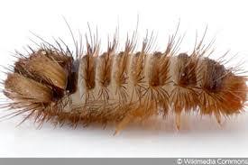 larven käfern im bett was tun teppichkäfer co