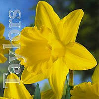 daffodils and narcissus bulbs