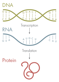 New Letters Added to the Genetic Alphabet