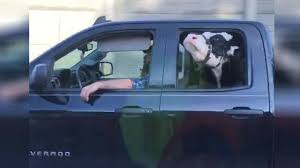 100 Cow Truck Video Of Cow Riding In Back Seat Of Truck Goes Viral