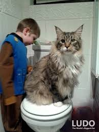 Do Maine Coons Shed Their Mane by Portraits Of Maine Coon Cats Who Look Like Majestic Mythical