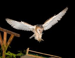 BLOG | Molly's Box | The Barn Owls Of San Marcos | Page 44 Barn Owl Landing Spread Wings On Stock Photo 240014470 Shutterstock Barn Owl Landing On A Post Royalty Free Image Wikipedia A New Kind Of Pest Control The Green Guide Fence Photo Wp11543 Wp11541 Flight Sequence Getty Images Imageoftheday By Subject Photographs Owls Kaln European Eagle Coming Into Land Pinterest Pictures And Bird