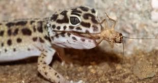 Crested Gecko Shedding Behavior by Why Won U0027t My Gecko Eat