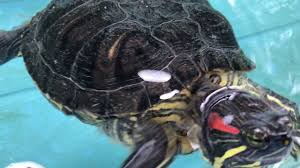 Turtle Shell Not Shedding by Gross Turtle Shedding Youtube