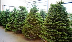 Which Christmas Tree Smells The Best Uk by Norway Spruce 3 9ft Christmas Trees Delivered Uk
