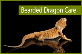 Basking Lamp Wattage For Bearded Dragon by Bearded Dragon Care 1 Png Fit U003d1000 667 U0026ssl U003d1