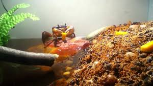 Halloween Hermit Crab Care by Moon Crab Munchin U0027 On Cheese Youtube