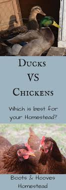 632 Best Backyard Chickens & Ducks Images On Pinterest   Chicken ... 6 Easy Tips For Duck Brooding Success Community Chickens For Making Maximum Profits From Duck Farming Business You Have To Types Of Ducks Eggs Meat And Pest Control Countryside Network Best Breeds Pets Egg Production Hgtv Your Winter Coop Keeping In Cold Weather Coop 12 Things You Should Know About Raising Ducks Or Chickens Ten Reasons Choose 132 Best Images On Pinterest Backyard What Eat And How To Care Them