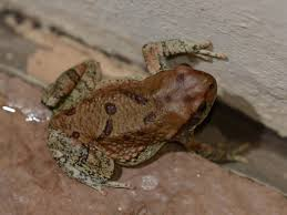 Do Aquatic Dwarf Frogs Shed Their Skin by Reptiles And Amphibians U2013 Sterkfontein Country Estates
