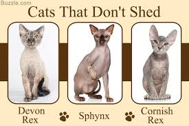 These 5 Cat Breeds That Don t Shed are Cat astrophically Cute