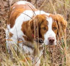 brittany spaniel dog breed information and images k9 research