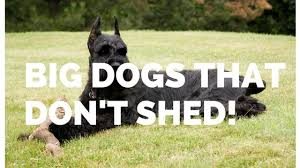 big dogs that don t shed hypo allergenic dogs big dog breeds