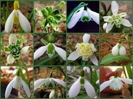 new snowdrops for 2012 carolyn s shade gardens