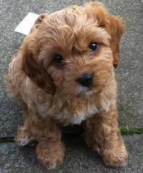 Non Shedding Large Dogs by Cavapoo Dog Breed Breed Info Pictures U0026 More