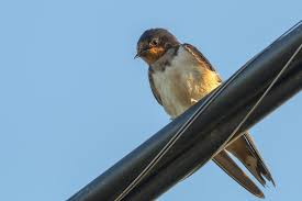 BirdsEye Photography: Review Photos Flying Barn Swallow Stock Photo Image Of Swift Martin 13408420 Perching Birds Lake Apopka Wildlife Audubon Guide To North American Ebirdr Watercolor Blue Bird On Stock Illustration 302720159 Warsciowestronytop Words On Another Blog First Chicks Swallows Including And Tree