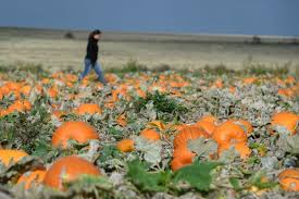 Pumpkin Picking Richmond by Pumpkin Picking Where You Can Pick Halloween Pumpkins This Year