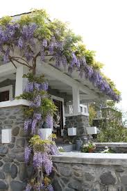 planting wisteria in a pot growing wisteria in a pot all the tips and tricks you need to