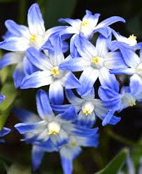 chionodoxa lucilea of the snow flower planted in back
