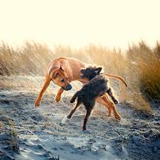 When Do Vizslas Shed Their Puppy Coat by Rhodesian Ridgeback Dog Breed Information Pictures