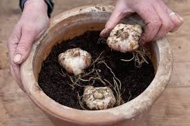 plant bulbs in containers gardenersworld