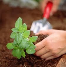 le basilic une plante aromatique facile à cultiver
