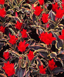 the 25 best tulip bulbs for sale ideas on planting