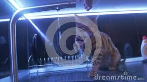 junge fannybengal katze spielt mit wasser kater in der