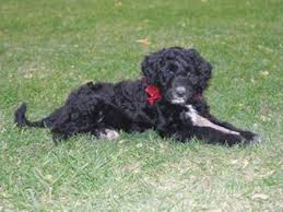 Portuguese Water Dog Non Shedding by About The Portuguese Water Dog And Hypoallergenic Dogs