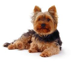 Non Shedding Dog Breeds Small by 16 Cutest Non Shedding Small Dogs Fluffy Small Sized Dogs