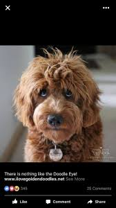 Cavapoos Do They Shed by 17 Best Puppies Images On Pinterest Animals Adorable Puppies