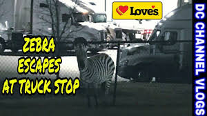 A Zebra Escaped A Trailer At A Love's Truck Stop While Its Ownper ... Free Overnight Rv Parking Urban Camping Seffner Florida Truck Inrstateguide Inrstate 22 Truck Stops Of America Gas Stations 16650 W Russell Rd Zion Petrol Station Locations Allied Petroleum Ats Hfg Truckstop Edit Sneak Peak Youtube Highway Cnections Trucker Path Weigh Android Apps On Semi Trucks Catch Fire At Flying J Truck Stop In Post Falls Salem Towing Company Receives Prestigious Award I65 Welcome Center Ardmoregiles County Ardmore Tn