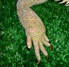 Bearded Dragon Shedding Nostrils by Bearded Dragon Care Bearded Dragon Health And Diseases Page 2