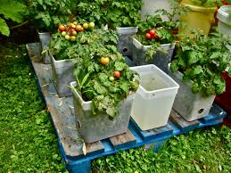 Suppose A Food Plant Could Be Invasive Willem Van Cotthem In Pallet Garden