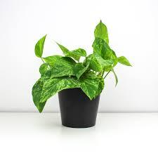 rapunzel kletterpflanze zimmerpflanze pilea pergé dein