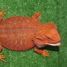 Bearded Dragon Heat Lamp Amazon by Central Bearded Dragons And Baby Bearded Dragons For Sale Amazing