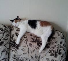 cat sofa free photo cat sofa pet relaxation free image on pixabay